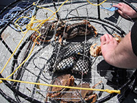 Crab Pot with a Few Dungeness Crabs