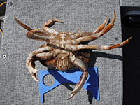 Male Dungeness Crab