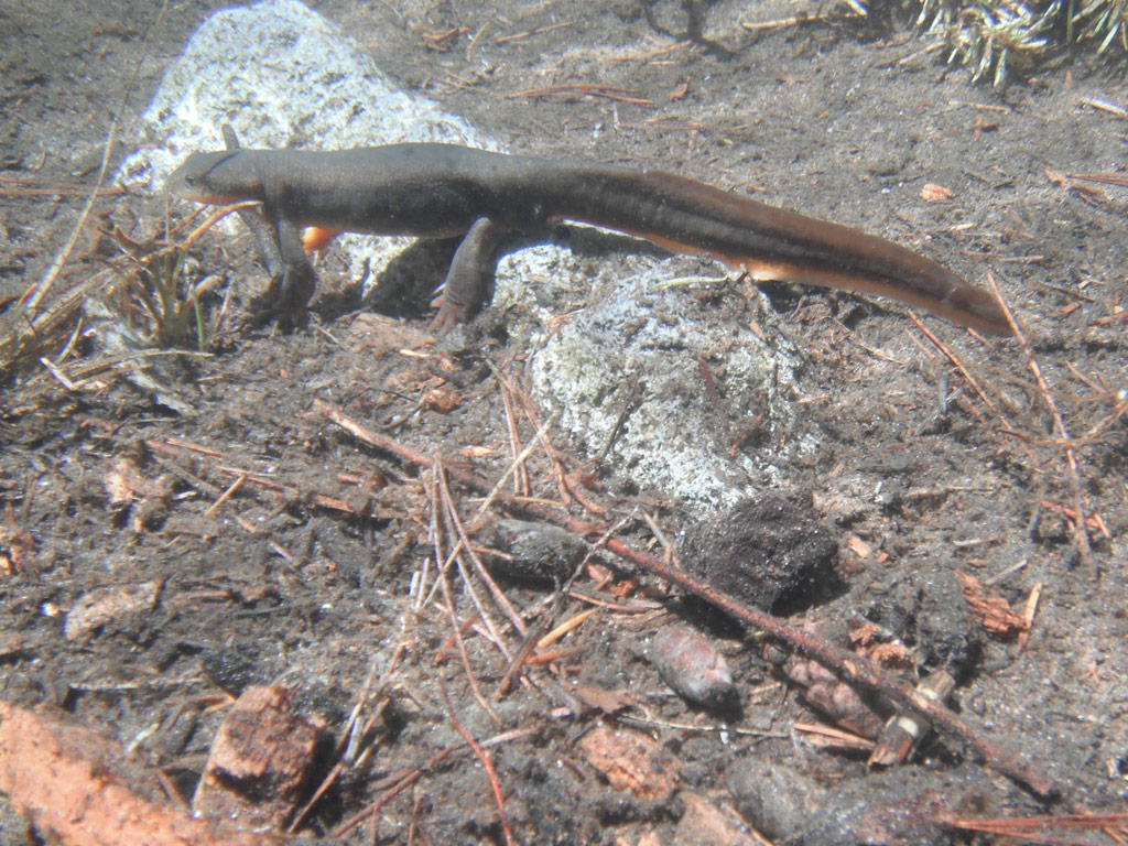 Underwater Shot of Rough-skinned Newt