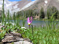 Alpine Shooting Star (Dodecatheon alpinum) Wildflower with Ice Lake in the Background