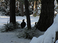 Grouse Hanging out in the Snow