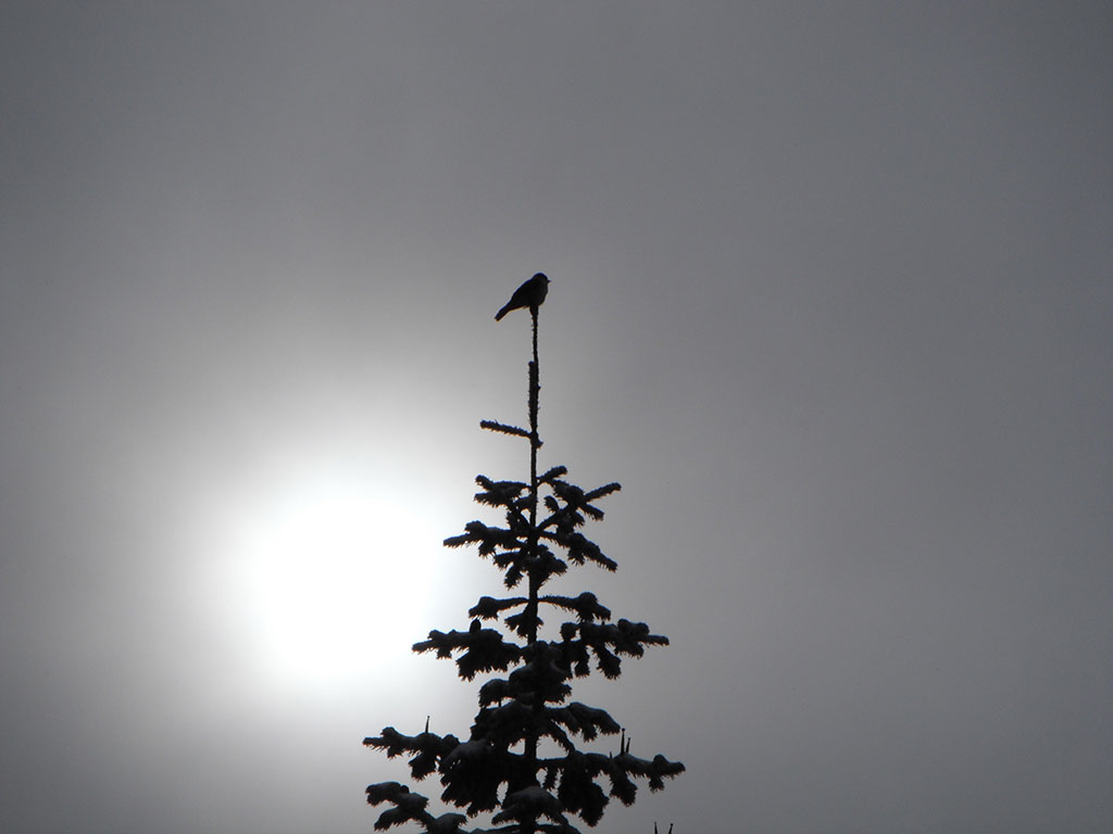 Grey Jay (Camp Robber) Silhouette