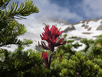 Paintbrush Wildflower with Inter Glacier in the Background