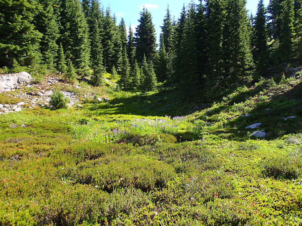 Wildflowers in Subalpine Meadow