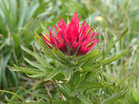 Paintbrush Wildflower
