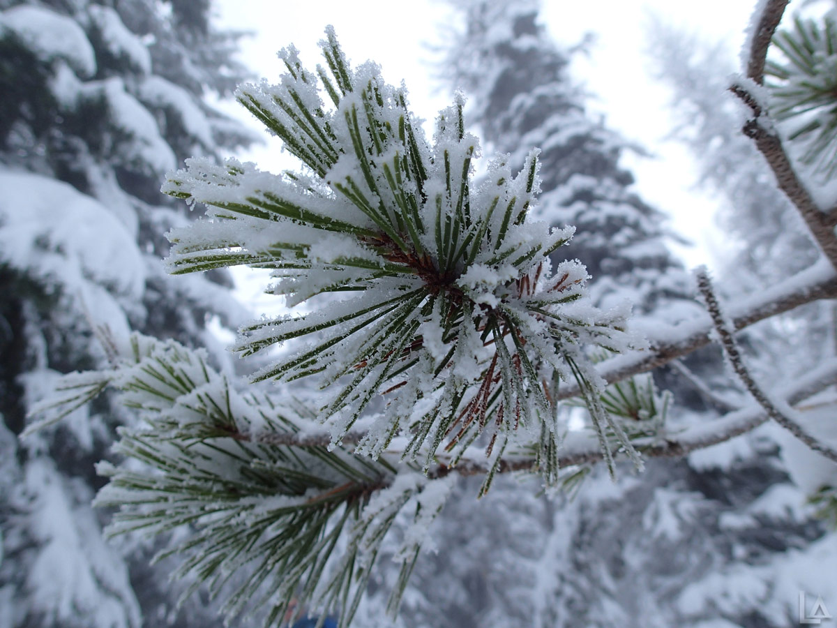 Fresh Snow on a Pine Tree