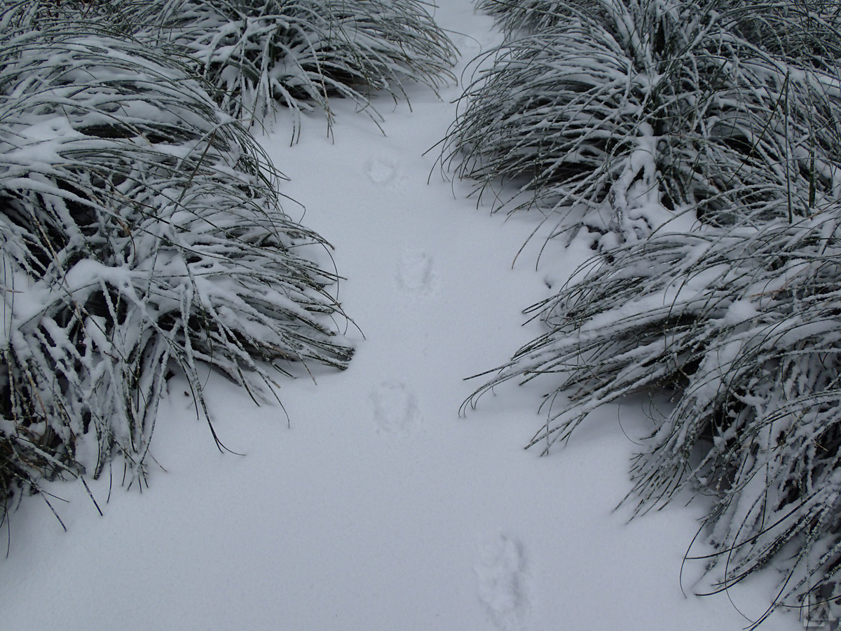 Fresh Coyote Tracks in the Snow