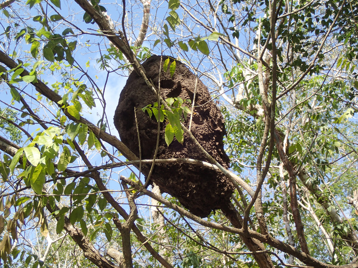 Large Ant Nest in Tree