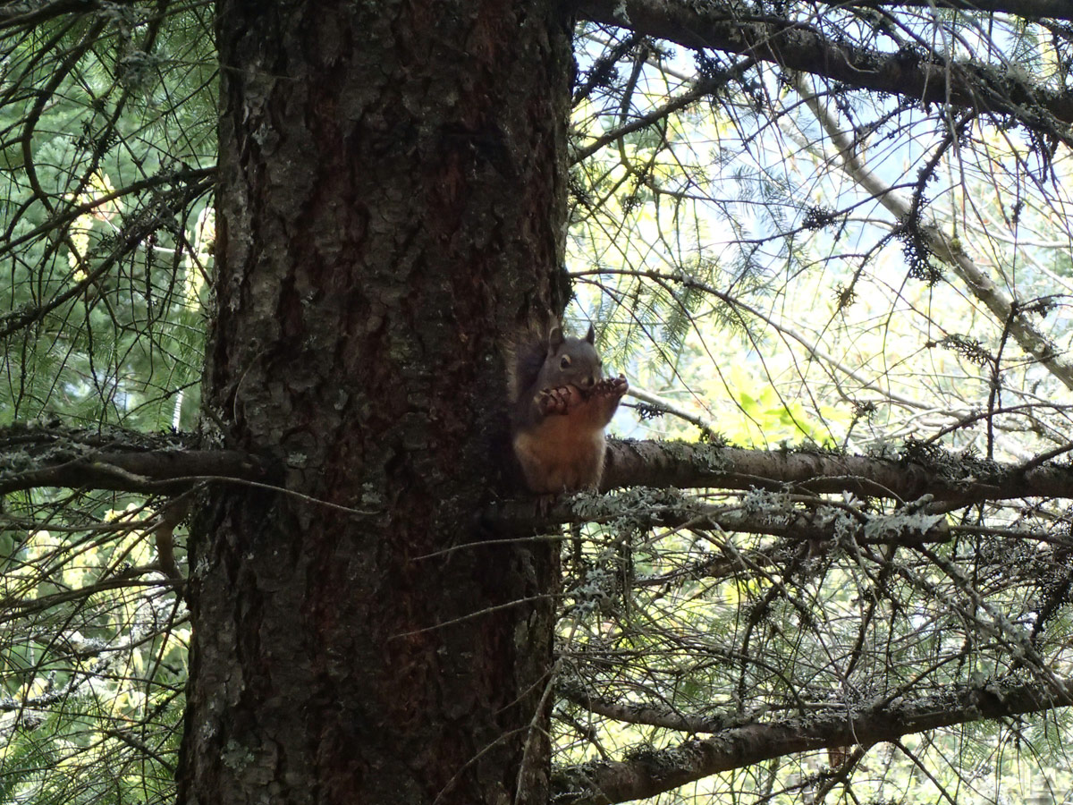 Squirrel Nibbling on a Cone Watching us Hike