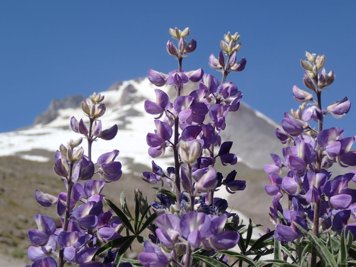 Lupine with Mt Hood in the Background