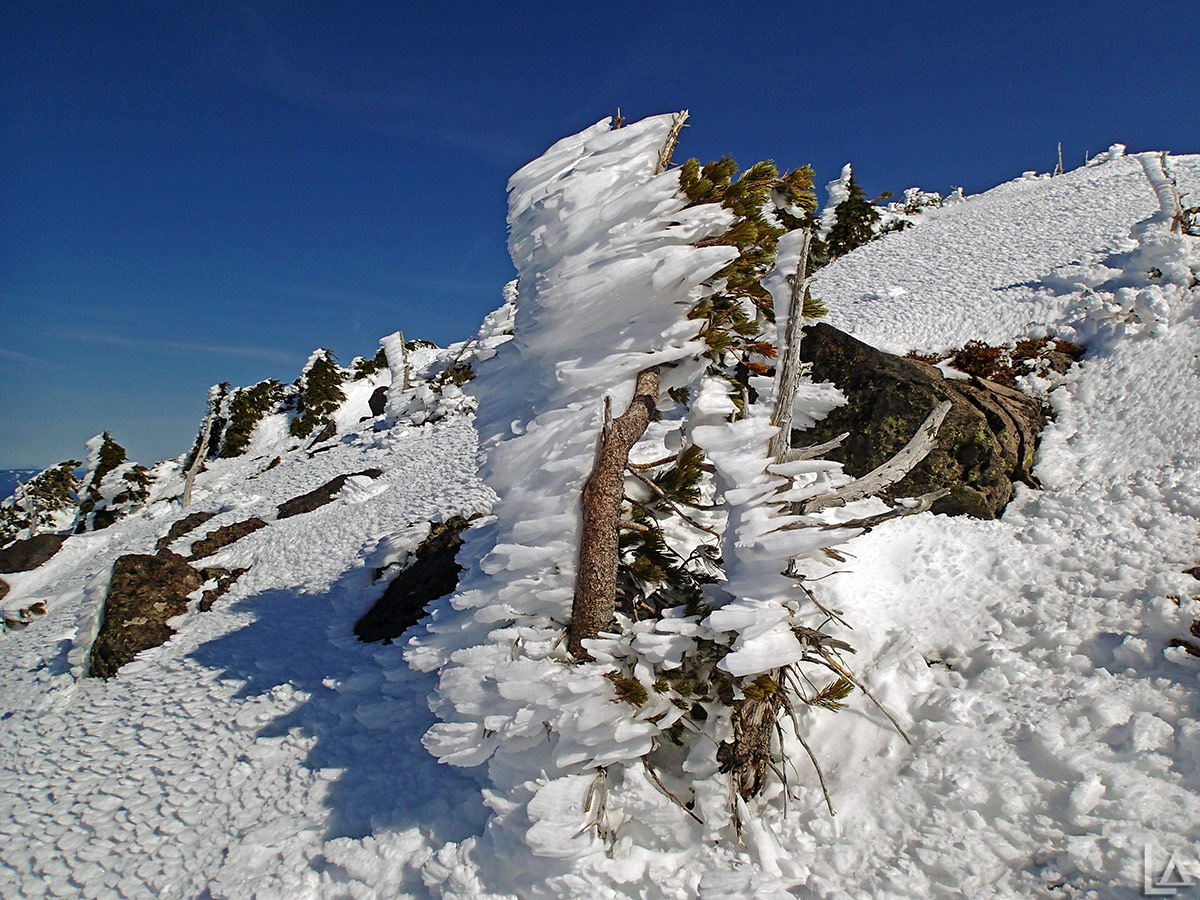 Frozen tree just below Olallie Butte summit