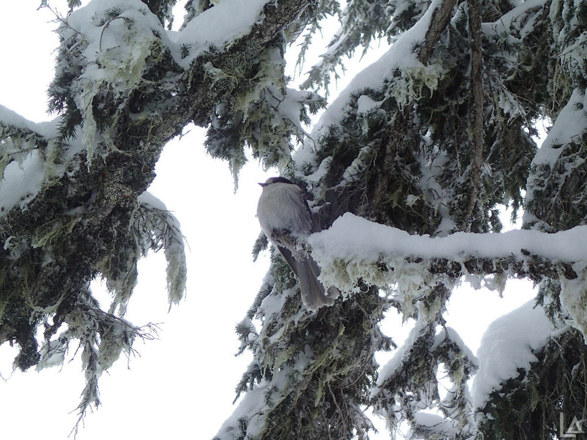 Grey Jay visiting us at Bonney Meadows