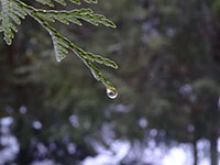 Single drop of water on a Western Red Cedar branch