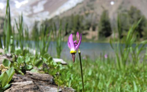 Alpine Shooting Star (Dodecatheon alpinum) - Wallowa Mountains, Oregon
