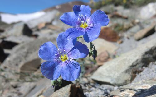 Blue Flax (Linum lewisii) - Wallowa Mountains, Oregon