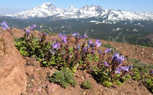 Davidson's Penstemon (Penstemon davidsonii) - Tumalo Mountain, Oregon