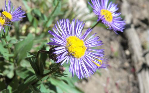 Leafybract/Cusick's Aster (Symphyorichum foliaceum) - Wallowa Mountains, Oregon