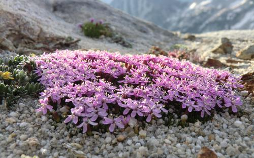 Moss Campion (Silene acaulis) - Wallowa Mountains, Oregon