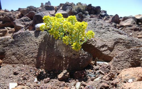 Oregon Stonecrop (Sedum oreganum) - Mount Bachelor, Oregon