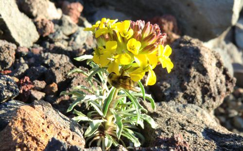 Pale Wallflower (Erysimum occidentale) - North Sister, Oregon