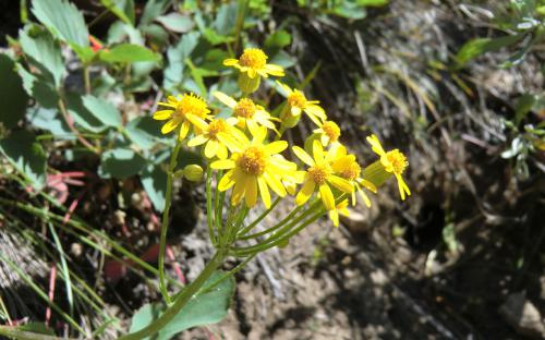 Rocky Mountain Butterweed (Packera streptanthifolia) - Wallowa Mountains, Oregon