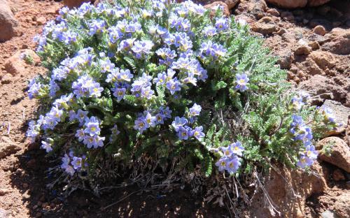 Showy Polemonium (Polemonium pulcherrimum) - Mount Bachelor, OR